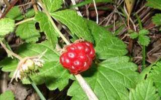 Княженіка — царська ягода. Догляд, вирощування, розмноження. Корисні властивості. Застосування. фото