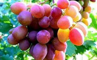 Вирощування винограду в середній смузі, формування куща, обрізка для початківців + відео