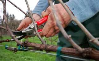 Як обрізати виноград і сформувати кущ, терміни, відео
