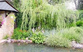 Садимо плакучі дерева в саду, відео