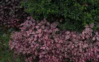 Гіпоестес квітка. Опис, особливості, види і догляд за гіпоестес