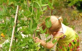 Чим корисний горох зелений в стручках для організму, корисні властивості і протипоказання + відео