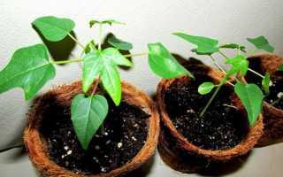 Вирощування в домашніх умовах папайї з насіння в горщику, відео