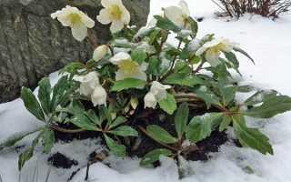 Морозник — посадка і догляд у відкритому грунті, коли цвіте, відео
