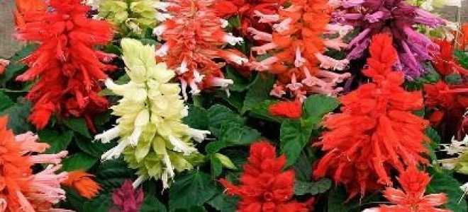 Сальвія: фото квітів — коли і як садити на розсаду. Вирощування, посадка і догляд