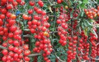 Томати черрі. Опис, особливості, вирощування і сорту томатів черрі
