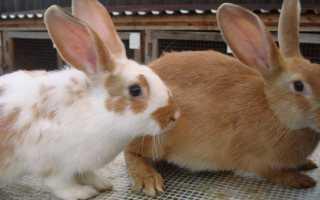 Щеплення кроликам — коли робити вакцинацію асоційованої і моновакциною вирощуючи кроликів будинку, відео