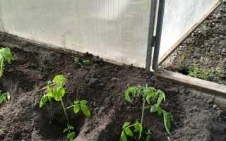 Догляд за помідорами в теплиці з полікарбонату. Полив, підв'язка, формування, підгодівля