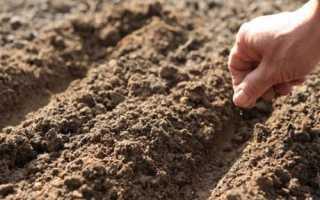 Айстри — спосіб і терміни осіннього посіву насіння для раннього цвітіння, відео