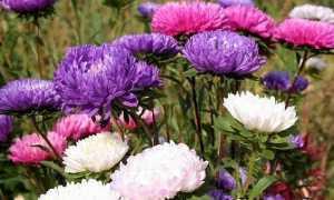 Астра квітка. Опис, особливості, види і догляд за айстри