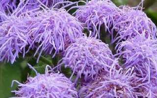 Агератум квітка. Опис, особливості, види і догляд за агератум