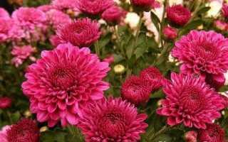 Хризантеми квіти. Опис, особливості, види і догляд за хризантемами