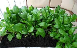 Вирощування шпинату на підвіконні взимку, посів, відео