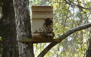 Бджільництво — пристрій пасток для рою диких бджіл, розширення пасіки, відео