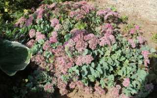 Очиток Еверса — особливості вирощування почвопокровного, відео