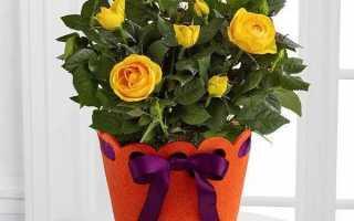 Роза патіо квітка. Опис, особливості та догляд за трояндою патіо