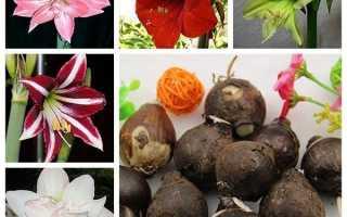 Амариліс — види і сорти для вирощування вдома, виведення нових сортів, відео