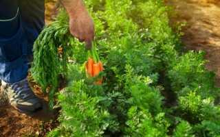 Посадка моркви під зиму: коли садити і як правильно, при якій температурі, рекомендації по догляду