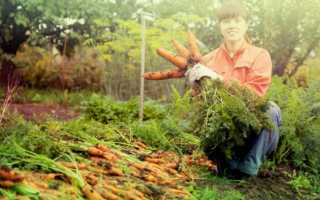 Вирощування моркви у відкритому грунті: секрети, умови, підготовка грядки, як прорідити