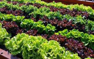 Салат — терміни посіву у відкритий грунт, підготовка грунту, відео