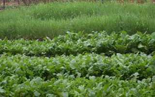 Сидерати — кращі зелені добрива для городу, відео