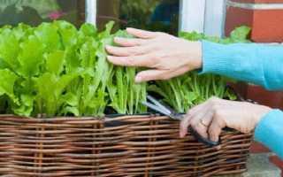Салат листовий — вирощування на підвіконні, догляд, освітлення, відео