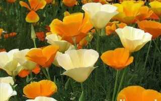 Ешшольція квіти. Вирощування ешшольціі. Посадка і догляд за ешшольція