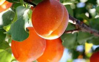 У чому різниця між Жерделі і абрикосом, відео