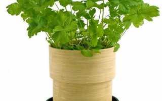 Як садити і вирощувати петрушку на підвіконні + відео