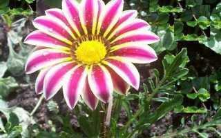 Гацанія квітка. Вирощування гацаніі. Догляд за гацанію