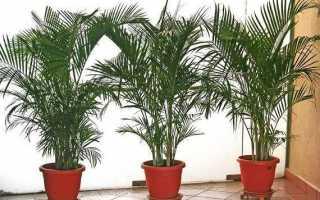 Пальми домашні. Види і догляд за пальмами будинку