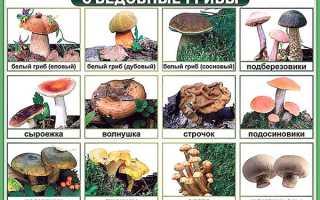 Їстівні гриби — білі, лисички, гливи, боровик, трутовик, сморчки, вовнянки, фото, відео