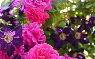 Дизайн клумби з троянд — своїми руками, як оформити, фото, відео