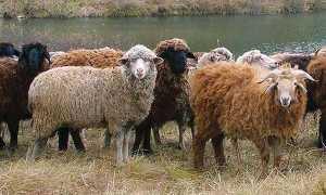 Розведення овець і вирощування в домашніх умовах для початківців, бізнес план, відео