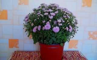 Що робити з хризантемою в горщику, коли вона відцвіте, відео