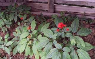 Вирощування женьшеню в саду — місце і терміни посадки, відео