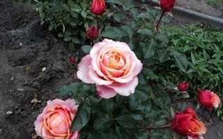 Як укрити троянди на зиму [ефективні методики]