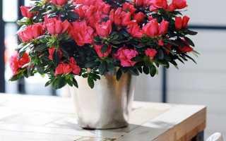 Азалія — догляд в домашніх умовах, посадка, квітка в горщику, фото, відео