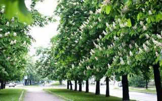 Кінський каштан — як посадити, як виростити з горіха, коли цвіте, опис, фото, відео