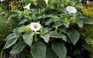Датура, або дурман. Догляд та вирощування з насіння. Посадка, розмноження в домашніх умовах. фото