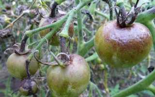 Обробка томатів від фітофтори [правила, препарати та дозування]