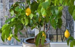 Як доглядати за лимоном і де його тримати вдома, відео