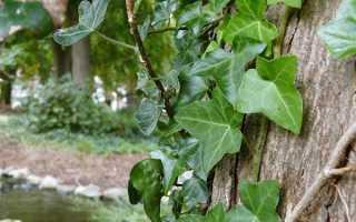 Плющ садовий — посадка, догляд і розмноження вічнозеленого плюща, використання для живоплоту, відео