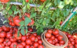 Коли і як садити розсаду томатів в грунт: актуальні терміни квітня, всі знання для врожайного року.  