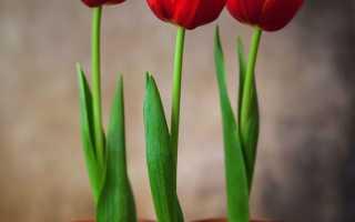 Вигонка тюльпанів в домашніх умовах до 8 Березня, коли висаджувати, відео