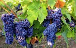 Обрізка молодого і старого винограду навесні 2019, що актуально на квітень-травень: терміни, схеми, способи |
