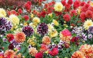 Жоржини квіти. Опис, особливості, види, ціна і догляд жоржинами