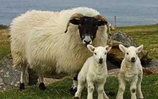 Породи овець — фото і опис Романівської, ельдібаевской, курдючної, гіссарської, куйбишевської, дорперской породи, відео