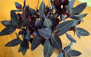 Орхідея Лудізія — догляд в домашніх умовах, розмноження, відео