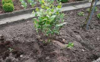 Розмноження чорноплідної горобини живцями, насінням, відео